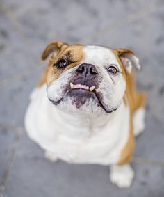 English Bulldog with underbite, adorable dog, lifestyle dog photography Bulldog Puppies, Dogs And Puppies, Doggies, Wallpaper English, Pug Breed, Bull Dog Ingles, British Bulldog, French Bulldog, Animal Books