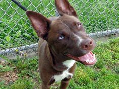 SAFE!! 6/2/13 Manhattan Center COMET A0966552 Female brown/white German Shepherd Dog/Pit Bull Terrier 2yrs Comet is a happy healthy & gorgeous pit/shepherd mix. While she flourishes under the care of the volunteers she didn't like the whole safer thing very much Comet is patiently waiting for her tonite tomorrow will be too late. www.facebook.com/...