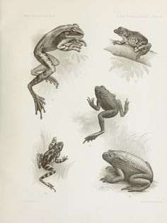 A contribution to the zoögeography of the East . (collected at Tjibodas) Book Projects, Flora And Fauna, Natural History, Art History, Poster, Amphibians, Reptiles, Island, Illustration