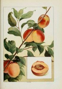 Grocer's encyclopedia. Peaches