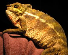 Ramone, the Ambilobe Panther chameleon.