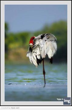sarus crane    very fine feathers indeed