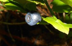 Borůvky mají léčivé plody i listí Blueberry, Fruit, Berry, Blueberries