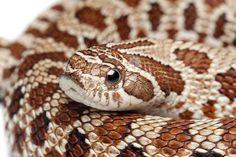 Règne : Animalia Classe : Reptilia Sous-classe : Lepidosauria Ordre : Squamata Sous-ordre : Serpentes Infra-ordre : Alethinophidia Famille : Colubridea Genre : Heterodon Espèce : Heterodon nasicus …