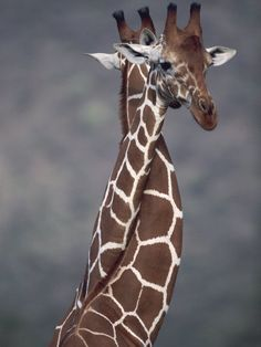 The ultimate hug. The Reticulated Giraffe sports a pattern that is much more regulated than the common giraffe. It is endemic to East Africa
