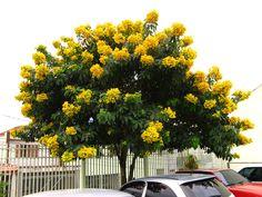 Pau-fava – Senna macranthera – Árvore nativa e de pequeno porte, com floração ornamental e aspecto elegante.