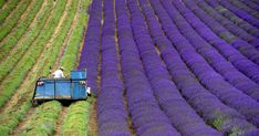 What a stunning photo of harvesting Lavender. So, why's it here? Our company colors in nature.  BoredPanda #Branding