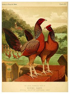 illustrated book of poultry. With practical Wright Chicken Cages, Chicken Art, Rooster Images, Joker Images, Stoner Art, Sexy Drawings, Pet Chickens, Fish Print, Vintage Pictures