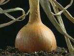 Video: Hoe groeien uien?/The growing process of onions.