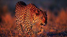 Leopard Roar HD desktop wallpaper Widescreen High Definition