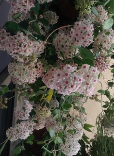 Hoya carnosa, wax plant.  When blooming, the fragrance is very heady and fills the house with a sweet, lovely fragrance.