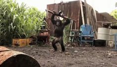 A West African soldier hands a chimpanzee a fully automatic rifle and that's when the real fun starts. The chimp fires off about 20 rounds and the soldiers scramble for cover. Clash Of Clans Account, Instagram Follower Free, Emergency Vet, Operation, Planet Of The Apes, Chimpanzee, Assault Rifle, Plumbing, Boss