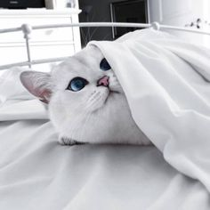 Find images and videos about white, cat and animal on We Heart It - the app to get lost in what you love. Cute Kittens, Cute Baby Cats, Kittens And Puppies, Cute Baby Animals, Animals And Pets, Cats And Kittens, Funny Animals, Pretty Cats, Beautiful Cats