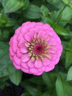 Zinnia - Oklahoma Pink»