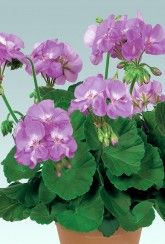 Geranium Zonal Blue Wonder - Plants