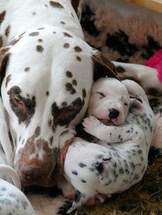 Dalmatian puppy's a sleep with mummy ❤️