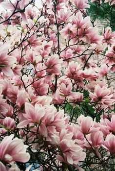 100 Best Magnolia Trees Images In 2019 Flowering Trees Flowers
