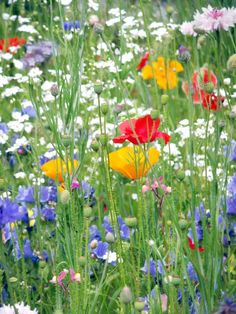 Wildflowers l With land at a premium and massive migration to cities, it is time to rethink our concept of our natural habitat. Bees, butterflies, birds and indeginous plants are crucial to our survival as well as mental & physical health. Nothing can bring more joy than a bit of green for your eyes! (Eastern Mediterranean Region)