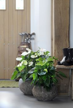 #kamerplanten#houseplants#anthurium
