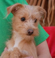 Cristiano is a breathtakingly cute baby boy found in peril near one of the busiest streets in Las Vegas and he had no sign of responsible ownership (no ID tag, no microchip ID, not neutered). Cristiano is a Yorkshire Terrier & Toy mix puppy, not quite 5 months of age, now neutered and debuting for adoption today at Nevada SPCA (www.nevadaspca.org). He is very playful and loves being around people and dogs.