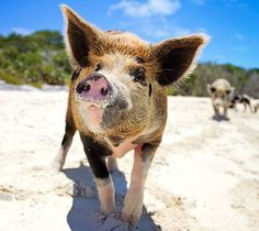 Pigs+on+Beach+in+the+Bahamas