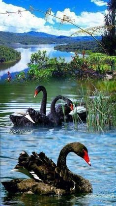 A 60 pieces Swan Love, Beautiful Swan, Beautiful Birds, Animals Beautiful, Nature Animals, Animals And Pets, Cute Animals, Beautiful Nature Pictures, Amazing Nature