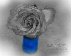 Blue by NatureImagesByDesign #naturesimagesbydesign #blue #rose #blackandwhite #floralstill #theartisangroup @Etsy