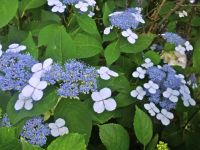 Take a look!!! It's a GREAT year for hydrangeas!!!!-7