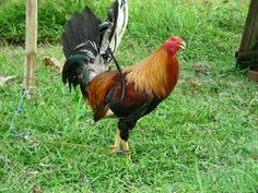 Hotels In The Philippines, Rooster Images, Game Fowl, Beautiful Chickens, Visayas, White Tail, Roosters, Farming, Poultry