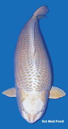 1000 images about ogon koi on pinterest koi gin and orange for Platinum koi fish