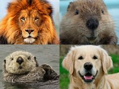 Personality Test- what are you?? Lion,Beaver, Otter, Golden Retriever