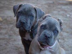 #Cane #Corso Puppies