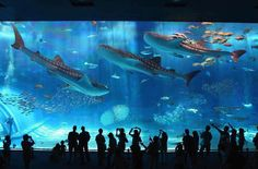 The Okinawa Churaumi is the world's second largest aquarium and part of the Ocean Aquarium Expo Park located in Motobu, Okinawa, Japan.