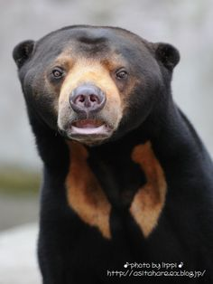 Sun Bear (Helarctos malayanus) Found in the tropical rainforest of Southeast Asia. It is suspected that the global population has declined by more than 30% over the past three bear generations due to habitat loss and commercial hunting.