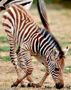 Bottom's up: Melako gets up one half at a time, ready to put on a stripy show Baby Animals, Cute Animals, Wild Animals, Baby Zebra, Baby Horses, African Safari, Zebras, Little Babies, Animals Beautiful