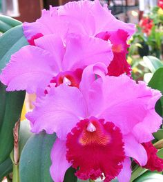 Pink Ruffles Orchid. These perennials are so stately.