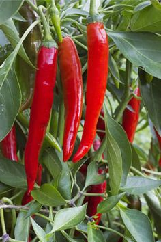 Studio Background Images, Hottest Chili Pepper, Red Chilli, Stuffed Hot Peppers, Garden Paths, Organic, Vegetables, Gardening, Chilis
