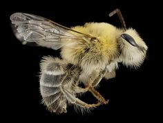 bee cute furry face, m, argentina, side_2014-08-07-18.46.27 ZS PMax