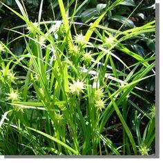 carex 'bronze reflection' segge, 3 pflanzen 1 | farne, succulenten, Best garten ideen