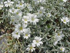 Cerastium biebersteinii - trockenheitsverträglichet Bodendecker