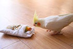 """""""こらぁ!訓練の時間でありますぞ! 起きるでありますよ! #オカメインコ #cockatiel #インコ #鳥 #後輩の面倒しっかりするのだ"""" Funny Birds, Cute Birds, Cockatiel, Budgies, Beautiful Birds, Animals Beautiful, Animals And Pets, Cute Animals, Bird Wings"""