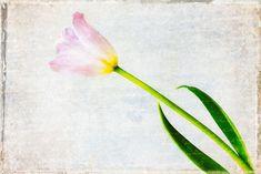 Tulip shot modified with Texture Bites Vol.7 No.5. Find Texture Bites here: bit.ly/TextureBites