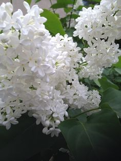 Lilac Tree, Tulips Flowers, All Flowers, Pretty Flowers, Dried Flowers, White Flowers, Planting Flowers, Wedding Flowers, Black Roses