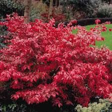 odom little moses - Instead of regular 8-10' burning bush, consider a small burning bush,e.g. 'Rudy Haag,' 3-5 feet tall, or 'Little Moses' (also known as 'Odom') about 3 feet tall.