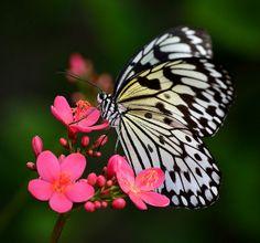 Paper Kite Butterfly feeding on Peregrina Flower, Wings of the Tropics, Fairchild Tropical Botanic Garden.   Flickr - Photo Sharing!