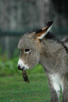 I'm just a little burro! Baby Donkey, Cute Donkey, Mini Donkey, Baby Cows, Baby Elephants, Baby Baby, Cute Baby Animals, Farm Animals, Animals And Pets