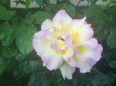 Another yellow Rose! Garden Roses, Yellow Roses, Beautiful Roses, Bloom, Flowers, Plants, Pictures, Photos, Plant