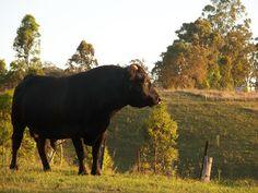 Our Simple Farm: Making Money Mondays - A Smaller Beef Cow Dexter Cattle, Miniature Cattle, Starting A Farm, Organic Beef, Beef Cattle, Hobby Farms, Small Farm, Urban Farming, Farm Yard