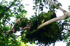 Wild Chimps Prefer a Firm Bed