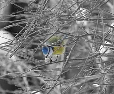 Playing around on Photoshop, selective colouring. Blue Tit, Bird Feeders, Photoshop, Outdoor Decor, Photography, Color, Home Decor, Photograph, Decoration Home